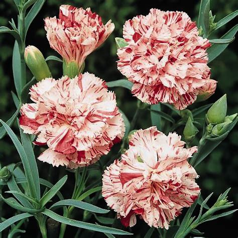 Dianthus Chabaud Orange dianthus seeds 16 varieties swallowtail garden seeds