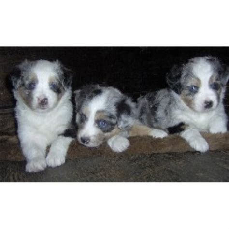 free puppies in dallas miniature australian shepherd aussie breeders and kennels freedoglistings page 7