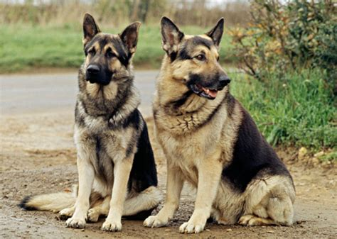 how do german shepherds live how do german shepherds usually live photo