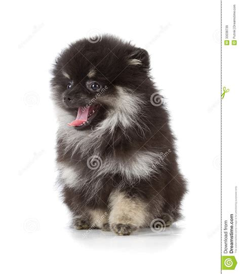 black white pomeranian puppies black pomeranian puppy royalty free stock images image 33038739