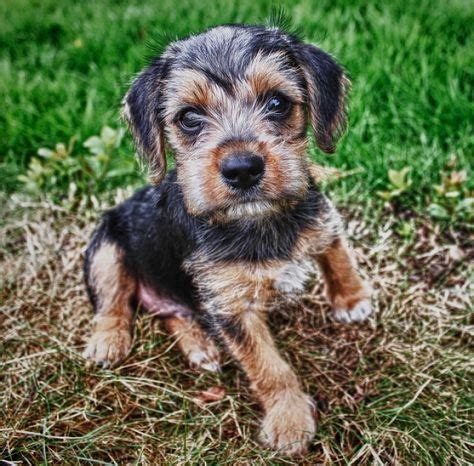 pug yorkie cross 453 best pug mixed breeds images on pug mixed breeds adorable animals and