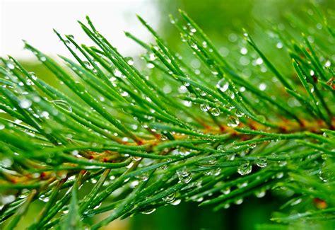 analisi testo la pioggia nel pineto la pioggia nel pineto analisi e parafrasi della poesia