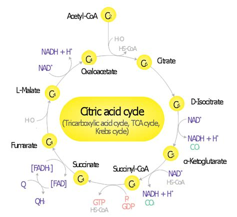 acid diagram saturated fats in the u s population diet catabolism