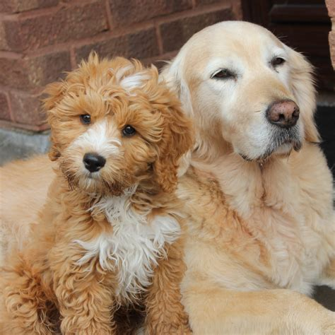 goldendoodle puppy advice golden doodle shedding 301 moved permanently