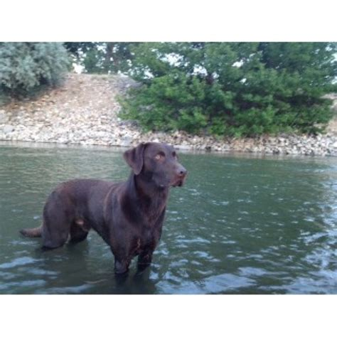 lab puppies colorado jeff hauser labrador retriever stud in colorado springs colorado listing id 22254