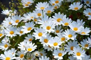 daisy wallpapers wallpaper cave
