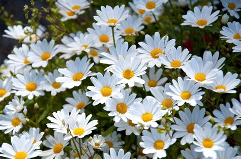 daisy wallpaper pinterest daisy wallpapers wallpaper cave