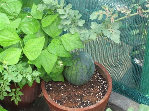 container gardening watermelon container gardening 15 best vegetables that grow well in a