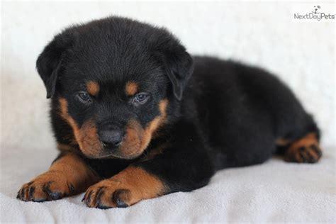 akc german rottweiler puppies for sale akc chion german blockhead rottweiler puppies for sale for sale in breeds picture