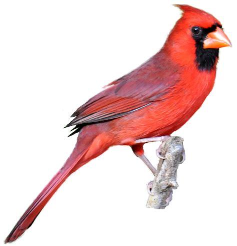 cardinal images cardinal bird clipart clipart suggest