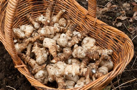 jerusalem artichokes they re back out of my shed