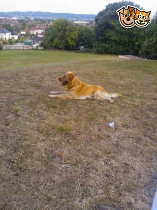 golden retriever mating age golden retriever offered for weston mare somerset pets4homes