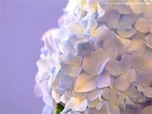 blue hydrangeas know your wedding flowers pinterest