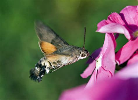 file kaibara87 hummingbird hawk moth by jpg