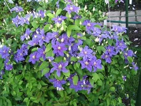 piante da siepe con fiori siepe ricante sempreverde siepi come realizzare una