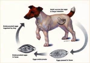 signs of worms in puppies worms in dogs