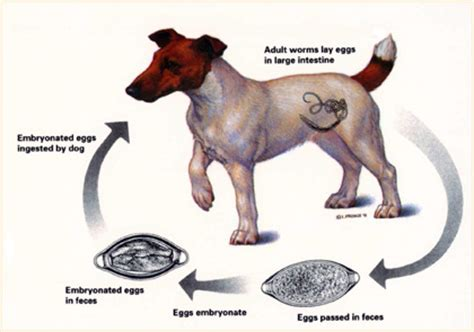 how to deworm a puppy deworming dogspot in