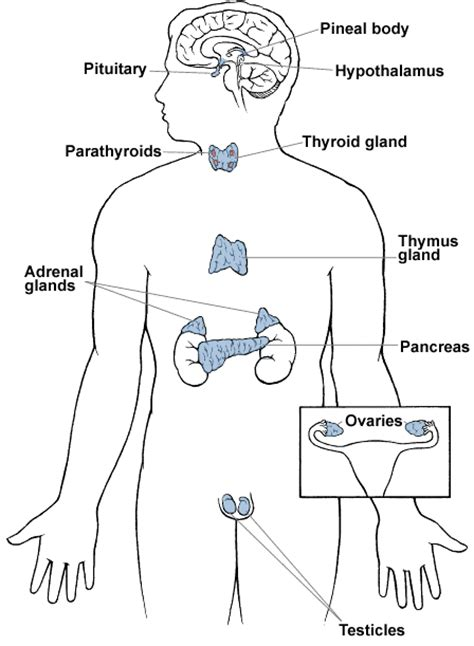 diagram of the endocrine system what did we do today 2010 12 12