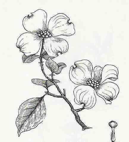 coloring pages of dogwood flowers 17 best images about dogwood on pinterest legends