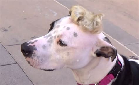 bald spots on dogs with bald spot adopted thanks to a wig and hats