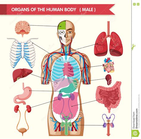 file diagram showing the parts of the body the lymphatic chart showing organs of human body stock vector image