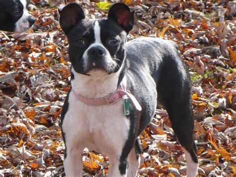pomeranian puppies for sale in el paso tx boston terrier rescue el paso dogs in our photo