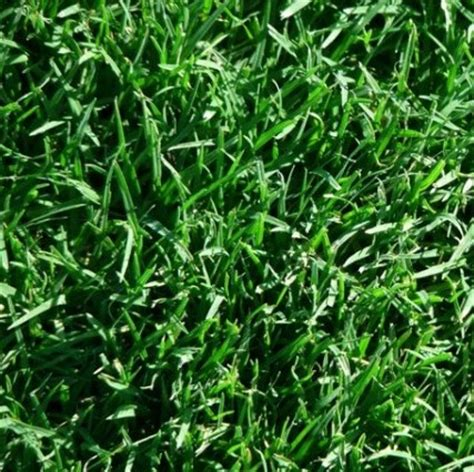 wintergreen couch seed kikuyu grass couch grass buffalo grass turf varieties