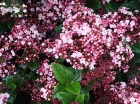 Arbuste Fleuri Feuillage Persistant by Haie De 15 Arbustes Fleuris Vari 233 S Caducs Et Persistants
