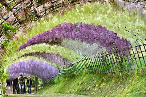 wisteria tunnels tokyo wisteria flower tunnel in japan attracts visitors from