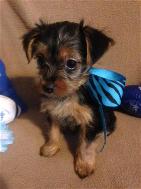 min pin yorkie mix yorkie pin min pin yorkie mix info temperament puppies pictures