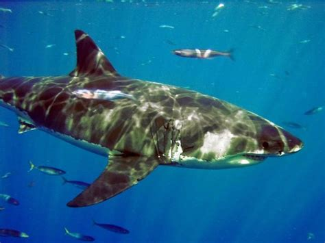 tiburones macarela orden lamniformes naturalista