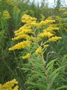 flowers for flower lovers golden rod flowers