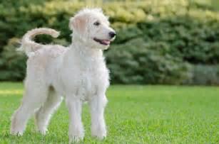 Labradoodle labrador retriever poodle mix pose