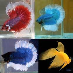 betta fish colors beautiful betta fish save our green