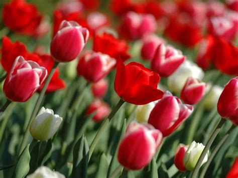 imagenes tulipanes rosas im 225 genes de flores y plantas tulipanes