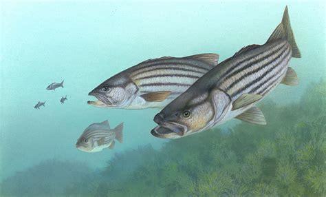 Striper White striped bass fishing