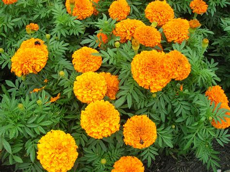 How To Grow Marigold Growing And Caring For Marigolds Marigold Flower Garden