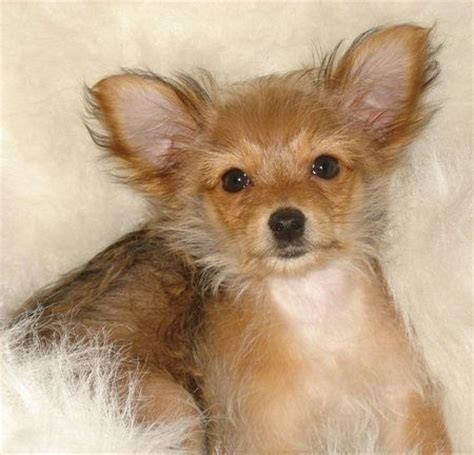 yorkie chihuahua mix grown chihuahuas terriers and yorkie on