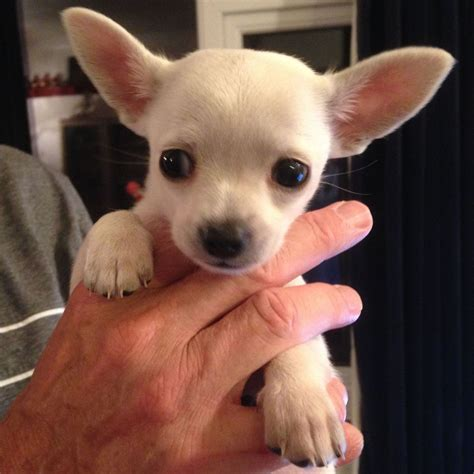 tiny chihuahua puppies white teacup chiwawa puppies www imgkid the image kid has it