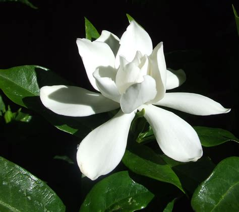 plants flowers cape jasmine