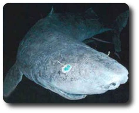 Sleeper Sharks by Learn All About Sharks Like Pacific Sleeper Sharks Shark