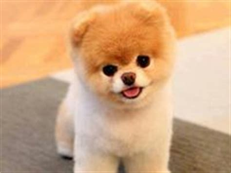 panda looking pomeranian for sale 25 best images about teacup pomeranian on poodles teddy dogs and