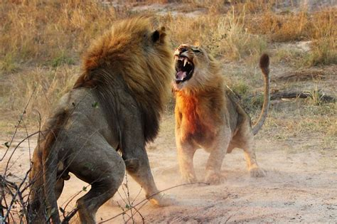 animals fighting animals fighting each other glossy photos images yoga