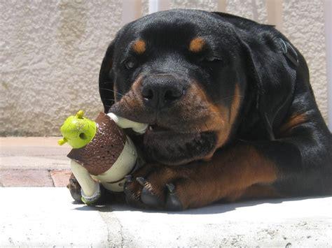 rottweiler service dogs for sale ballardhaus rottweilers rottweiler breeders rottweiler puppies german