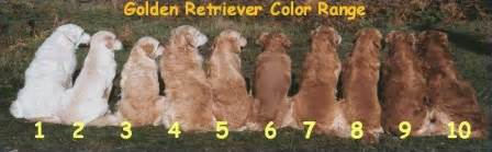 golden retriever colors welcome to buckeye kennels where our family raises