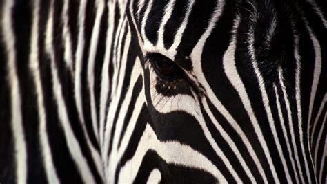 abstract zebra wallpaper zebra wallpaper 1920x1080 46787