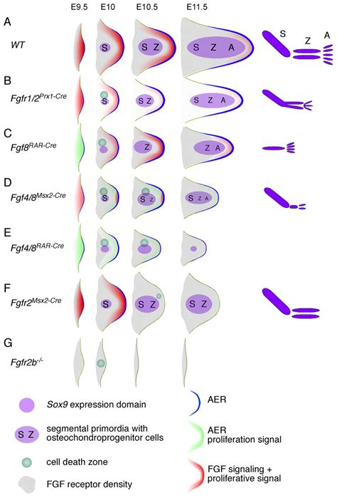 pattern formation in limb development fgf signaling regulates mesenchymal differentiation and