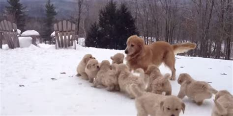 snow puppies this of a golden retriever with puppies in the snow definitely makes