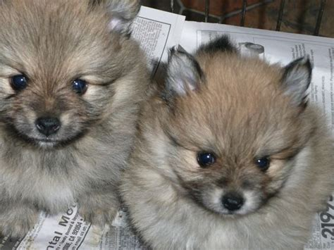 wolf pomeranian cost pomeranian puppy pomeranians and wolves on