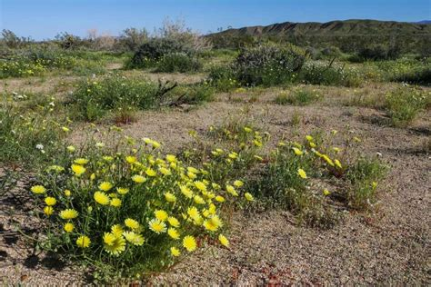 desert flowers anza borrego anza borrego desert wildflowers superbloom travel